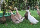 ducksnorchard