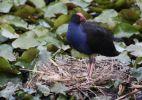 Swamphen-nest-dam