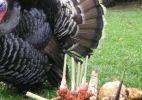 turkeyntubers