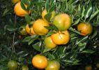 citruscrop