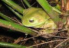 greentreefrog2